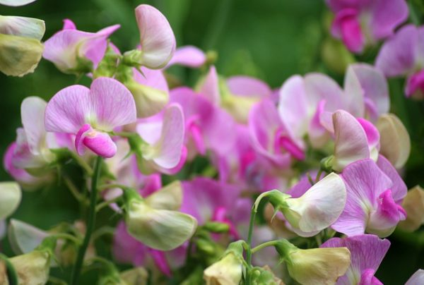 sweet-pea-scented-3474709_640