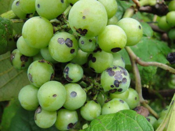 Antraknoz-vinograda