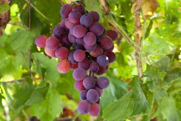 Antraknoz-vinograda5