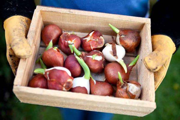 Kak-hranit-lukovicy-tjulpanov