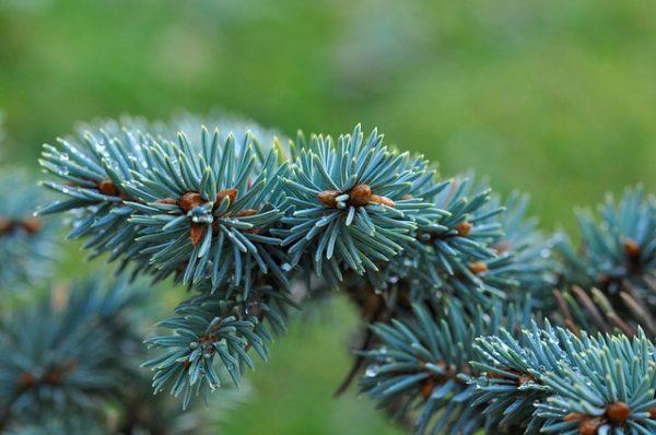 dwarf-blue-fir-529214_640