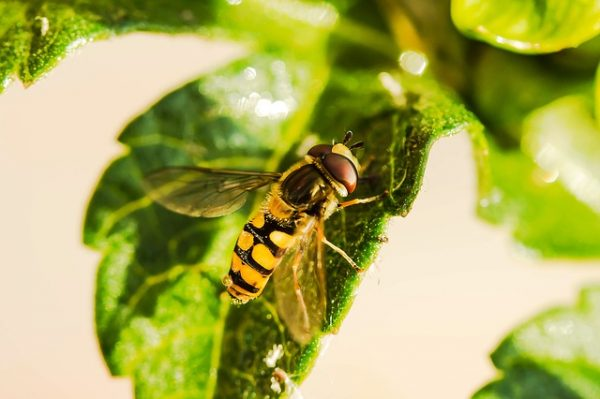 hover-fly-1672677_640