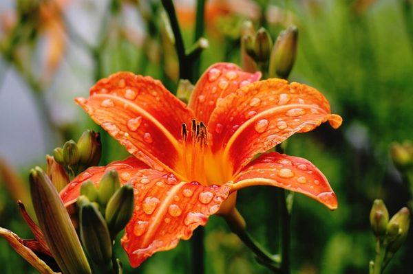 lily-1149001_640