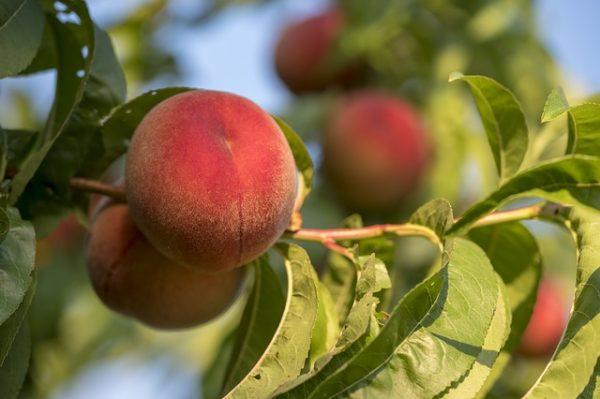 peaches-3550708_640