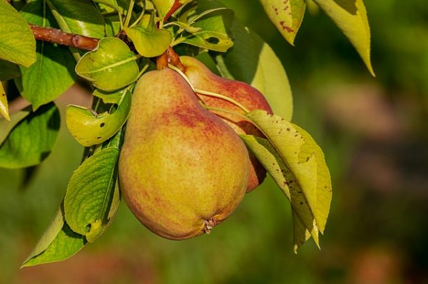 pear-3560106_640