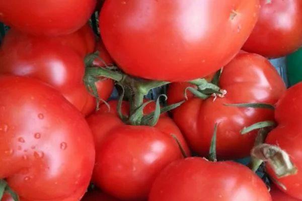 sorta_pomidor5