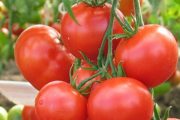 sorta_pomidor9
