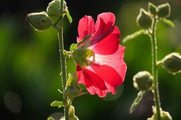 stock-rose-3547160_640