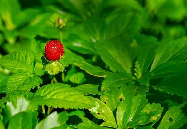 strawberry-3501491_640