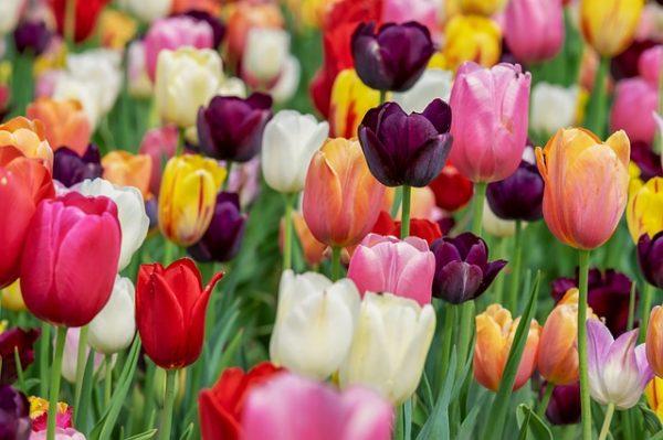 tulip-3365630_640